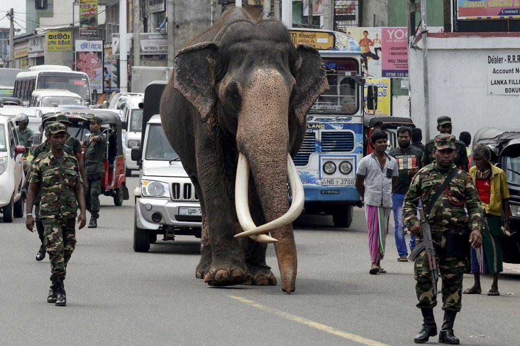 Un elefante con sus grandes colmillos llamado Nadungamuwa Raja es escoltado por personal de seguridad mientras camina