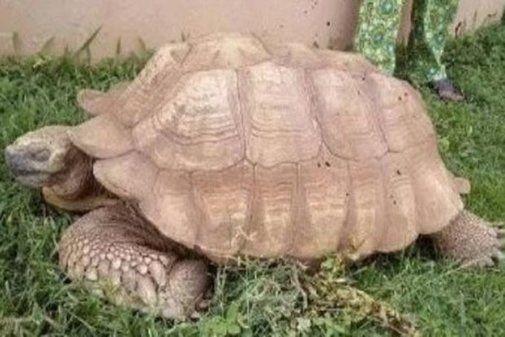 La tortuga más vieja de África muere en un palacio en Nigeria