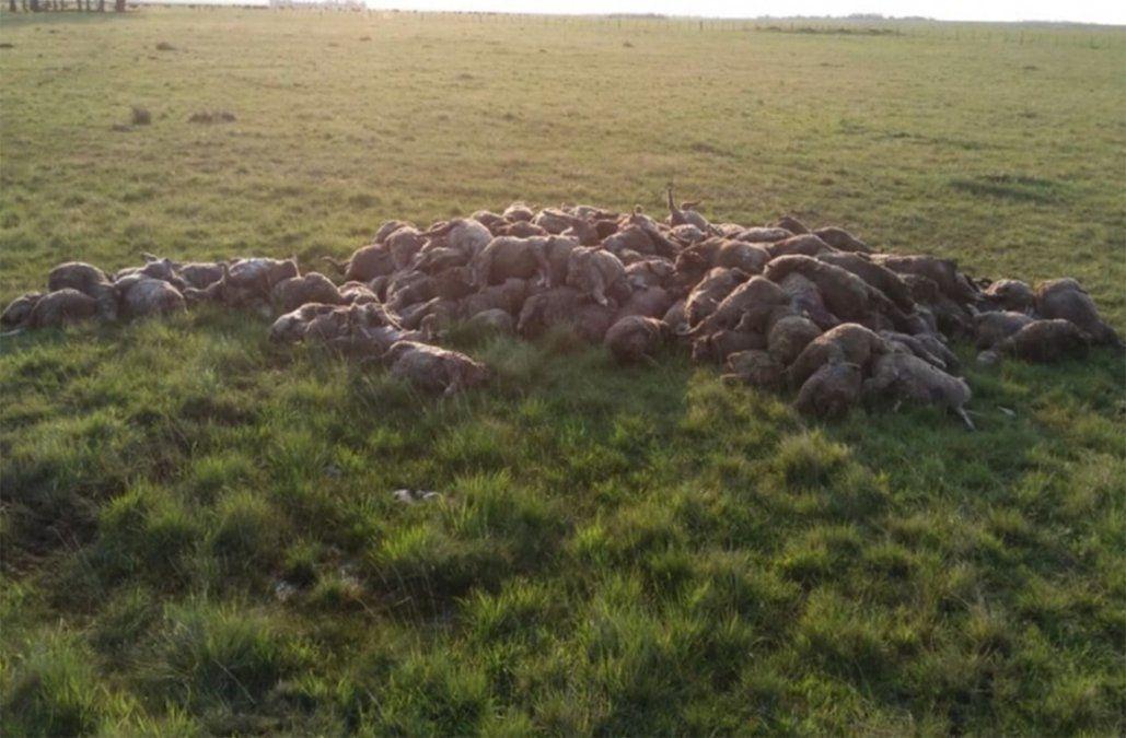 Perros sueltos mataron a más de 200 ovejas en una zona rural de Artigas