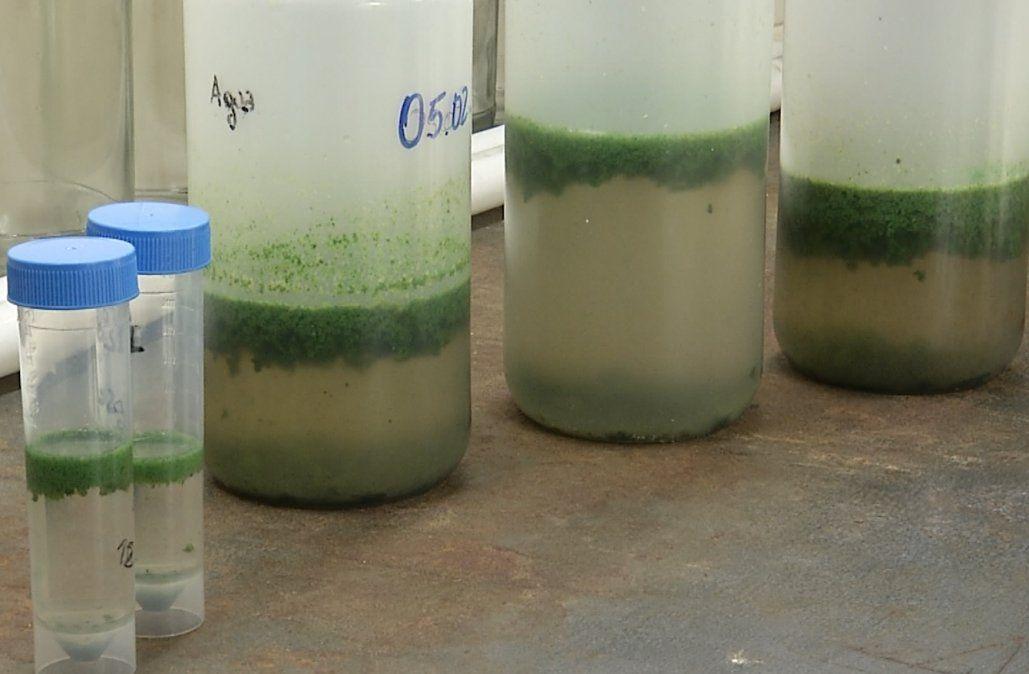 Cianobacterias en playas: :esperan menos que el año anterior