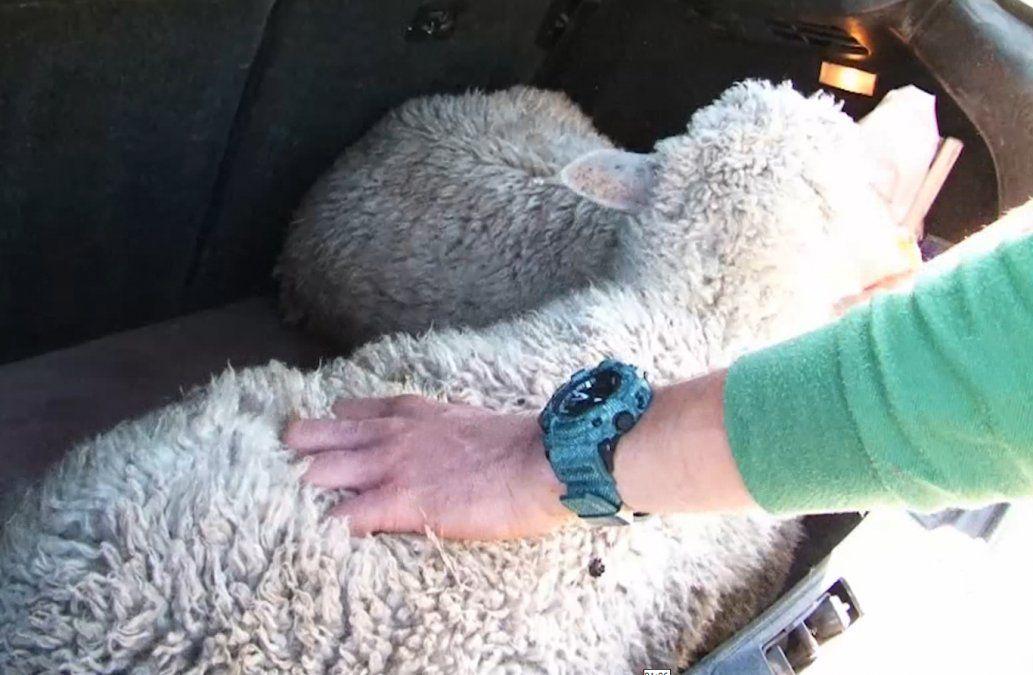 Mujer imputada por abigeato: robaba ovejas y las trasladaba vivas en su auto