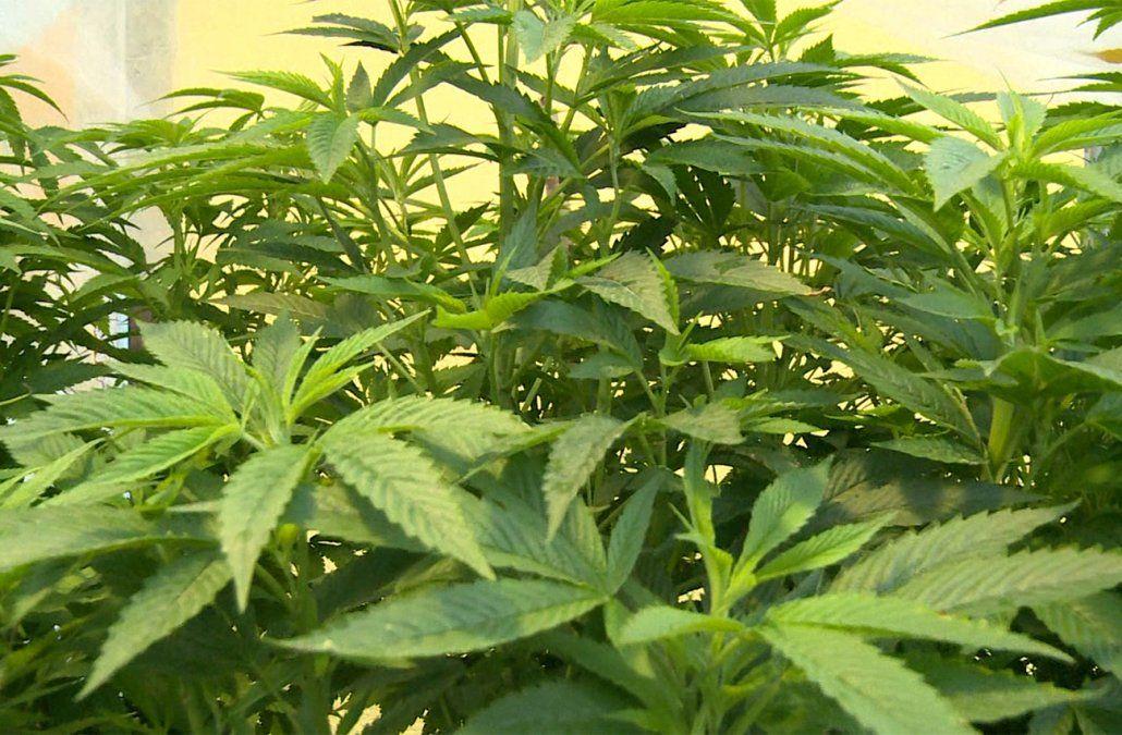 Nuevos permisos llevan producción de marihuana legal a seis toneladas anuales
