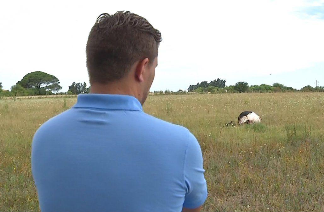 Otra vaca fue degollada y mutilada para sacarle carne, además le robaron el ternero