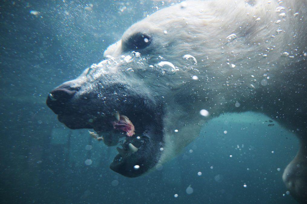 Un oso polar se sumerge por una pieza de carne en el zoológico de Budapest