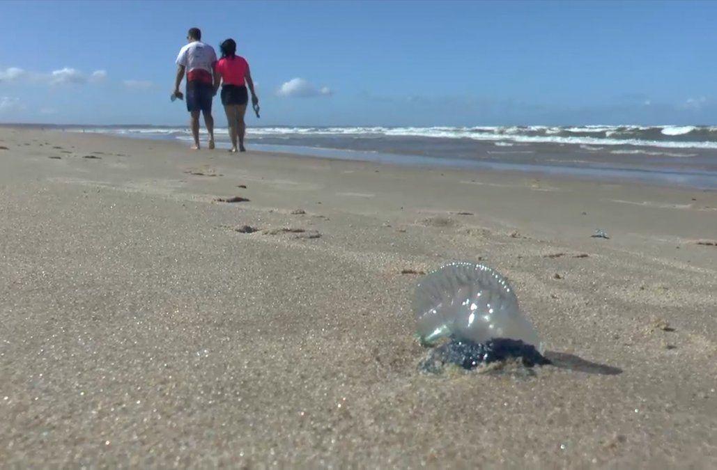 Preocupa aparición de fragatas portuguesas en playas de Rocha y advierten por su peligrosidad