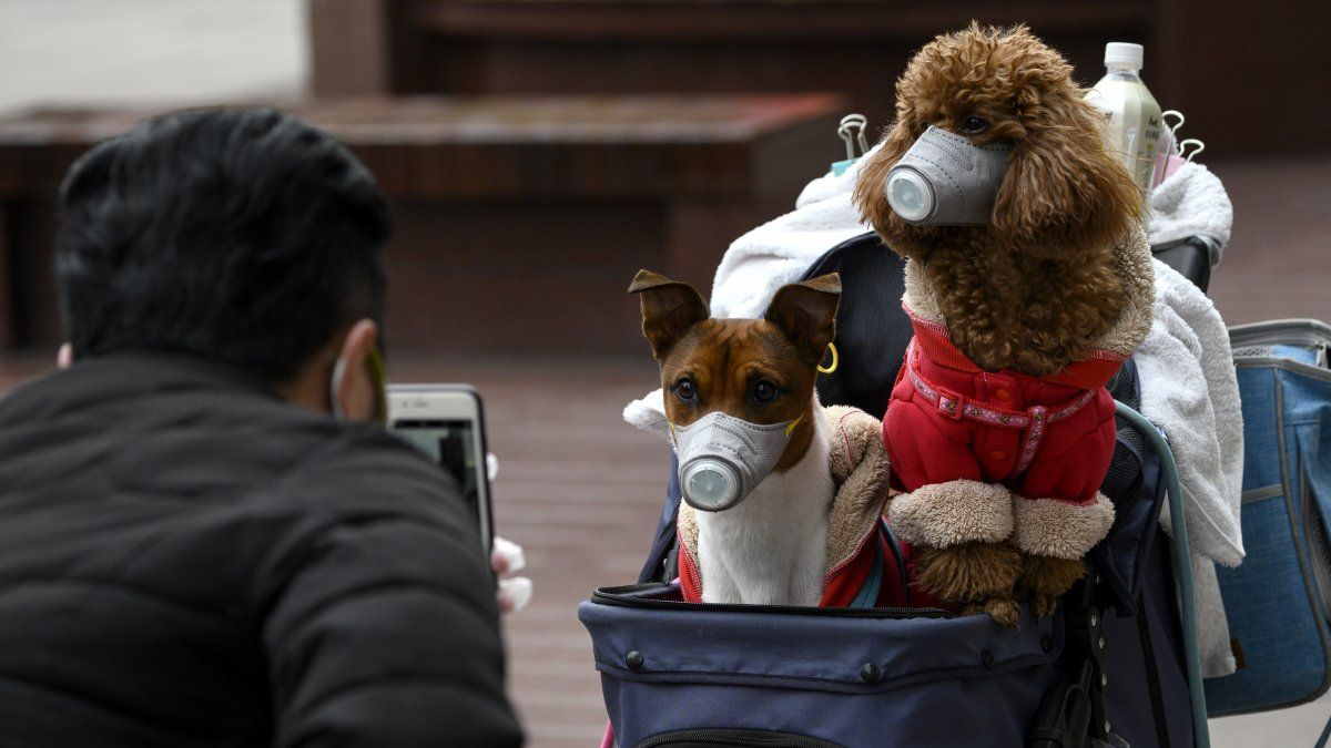 Un hombre tomas fotos de dos perros usando máscaras en Shanghai.