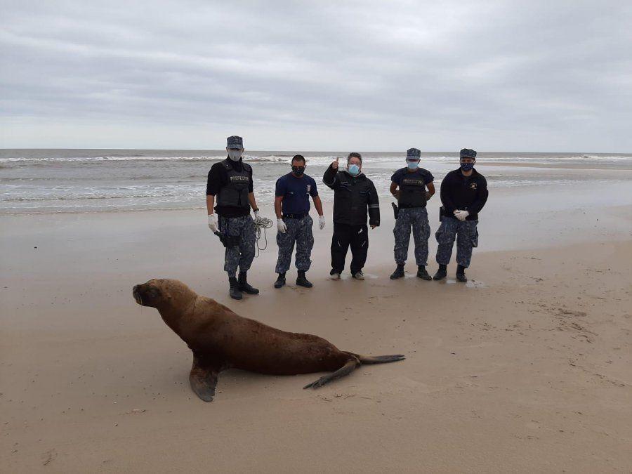 Personal de Prefectura devuelve al mar a una loba marina ciega y sin piezas dentales