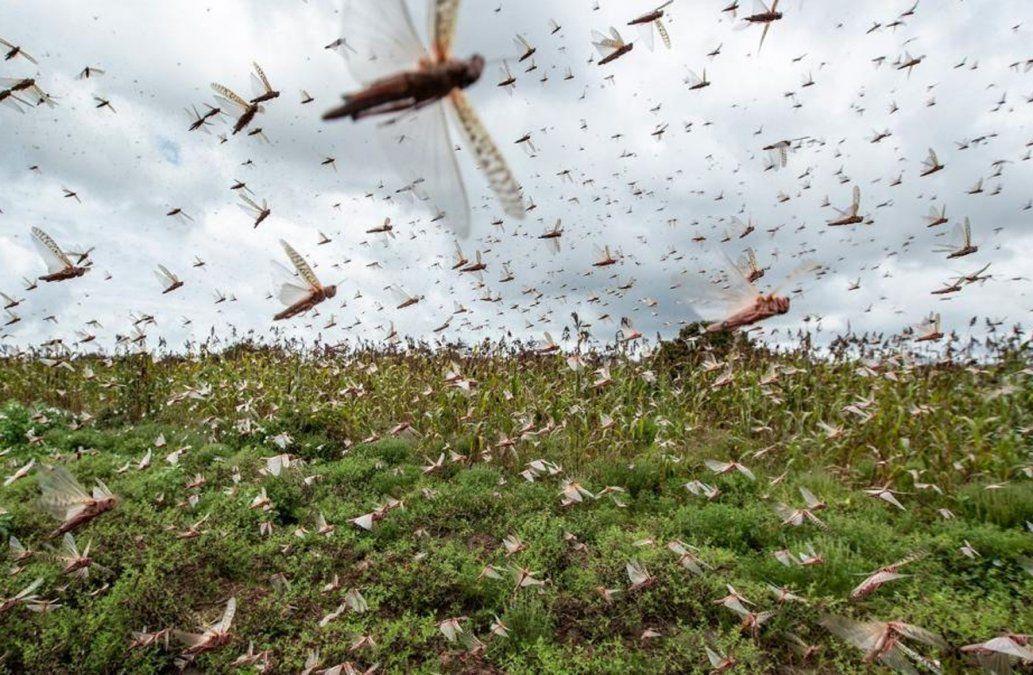 Argentina redujo 80% la manga de langostas que avanzaba hacia Uruguay
