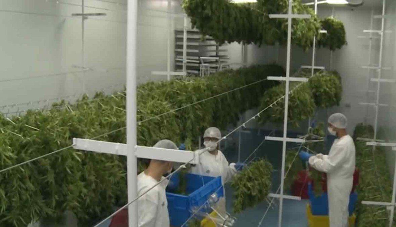 La producción de marihuana regulada por el Estado no alcanza para abastecer la demanda