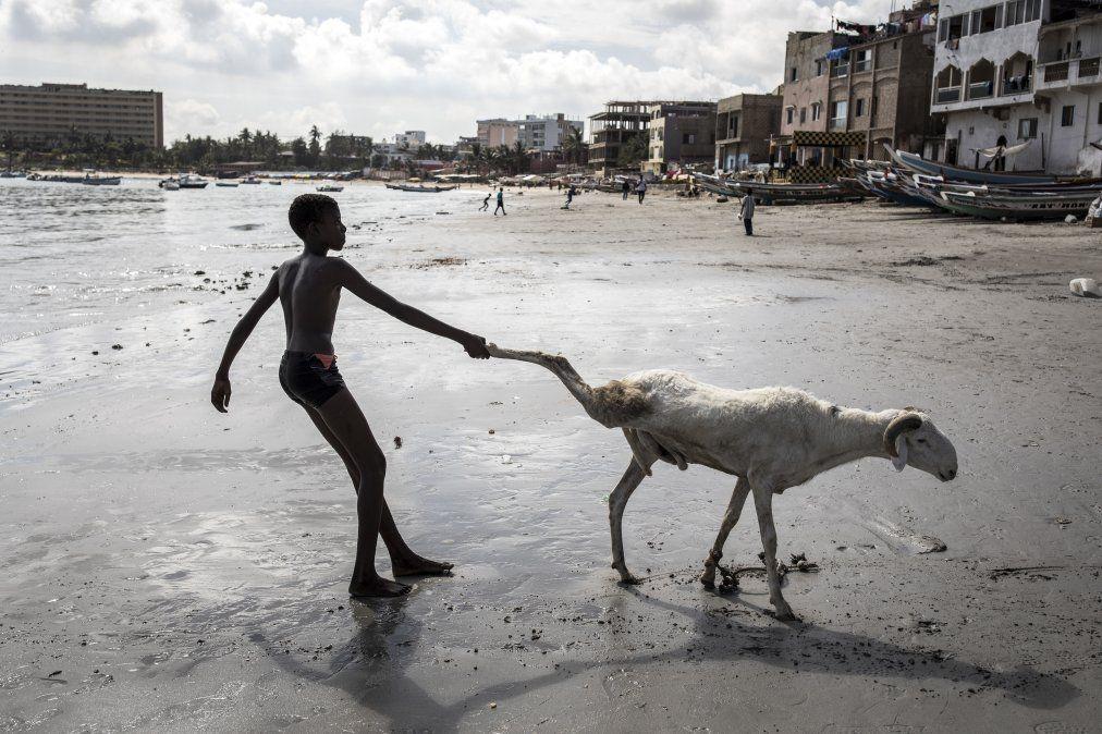 Un joven criador arrastra una de sus ovejas hacia el mar para limpiarla en Dakar