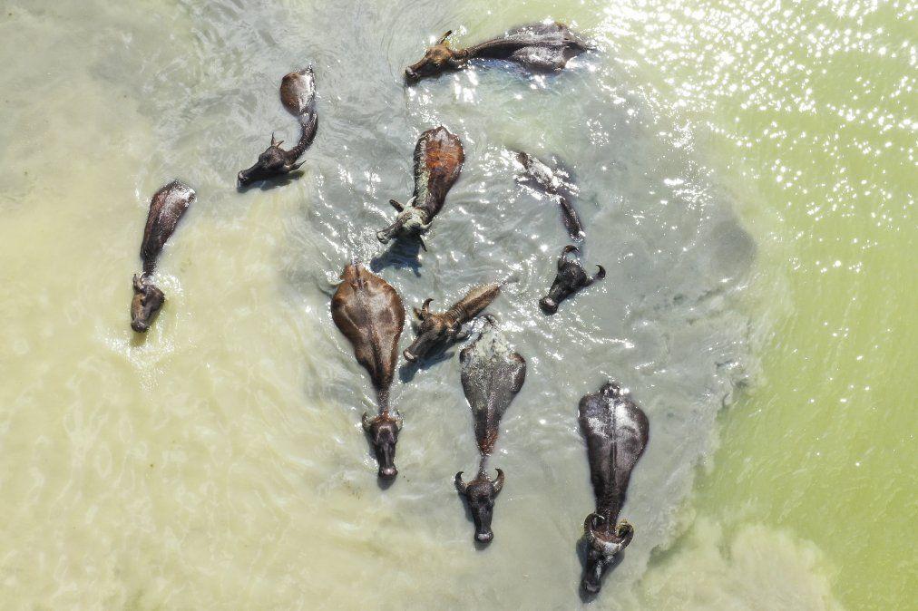 Una manada de búfalos se refrescan en un lago en Georgia
