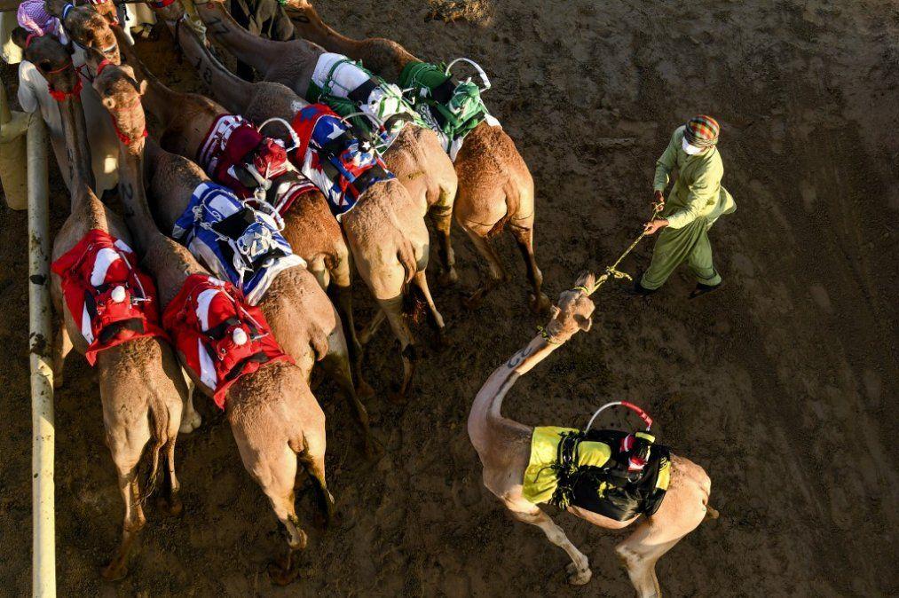 Camellos de carreras equipados con robots jinetes