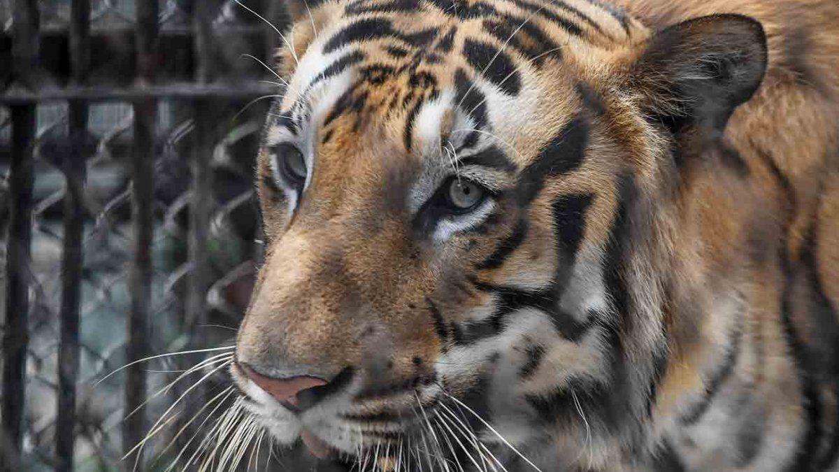Persiguen en India a un tigre que mató ocho personas