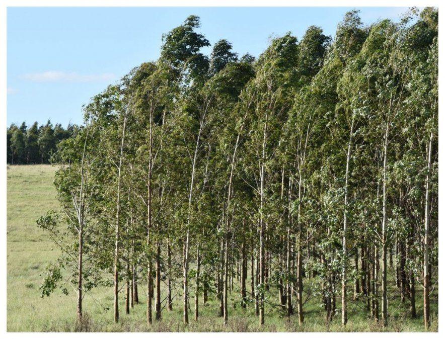 Bosque de eucaliptus. La ley forestal de los años 80 los impuso como modelo y la llegada de las celulósicas lo confirmó pese a las advertencias de ecologistas sobre los graves problemas que ocasionan estos árboles al subsuelo y al medio ambiente en general