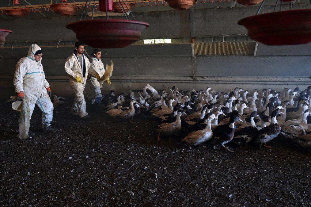 Rusia detectó primer caso de transmisión de cepa H5N8 de gripe aviar al ser humano