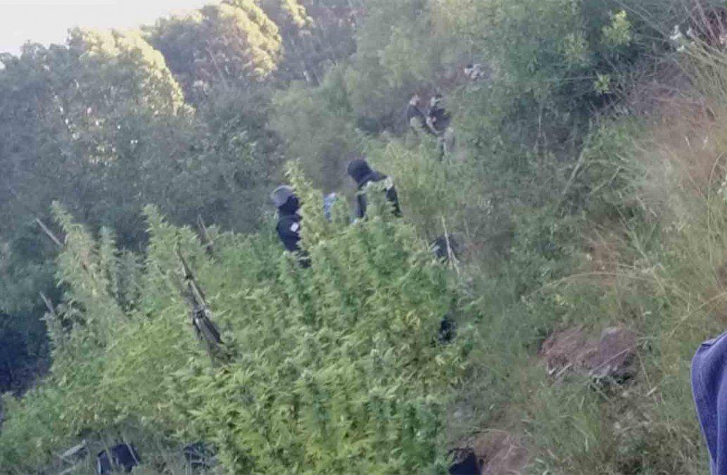 Desmantelan un laboratorio de marihuana en pleno monte de Rivera
