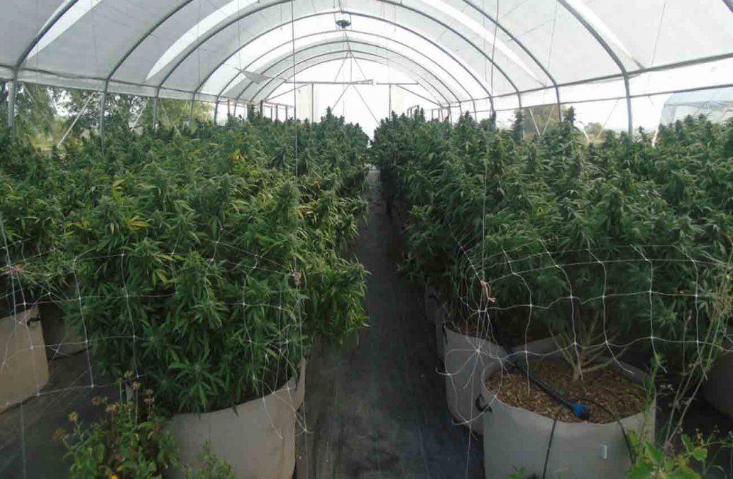 Desmantelaron una plantación clandestina de marihuana en Rocha
