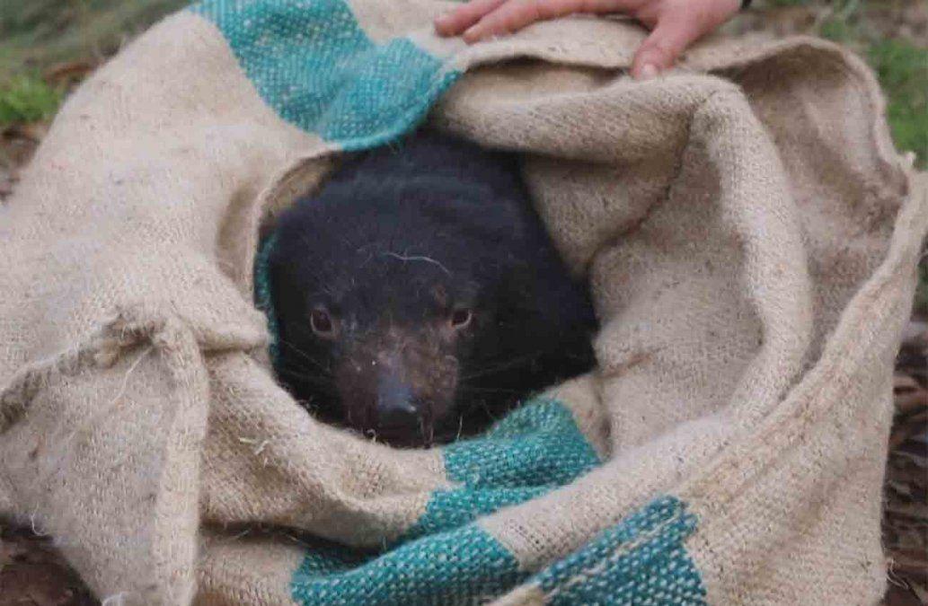 Nacen demonios de Tasmania en Australia 3.000 años tras su desaparición