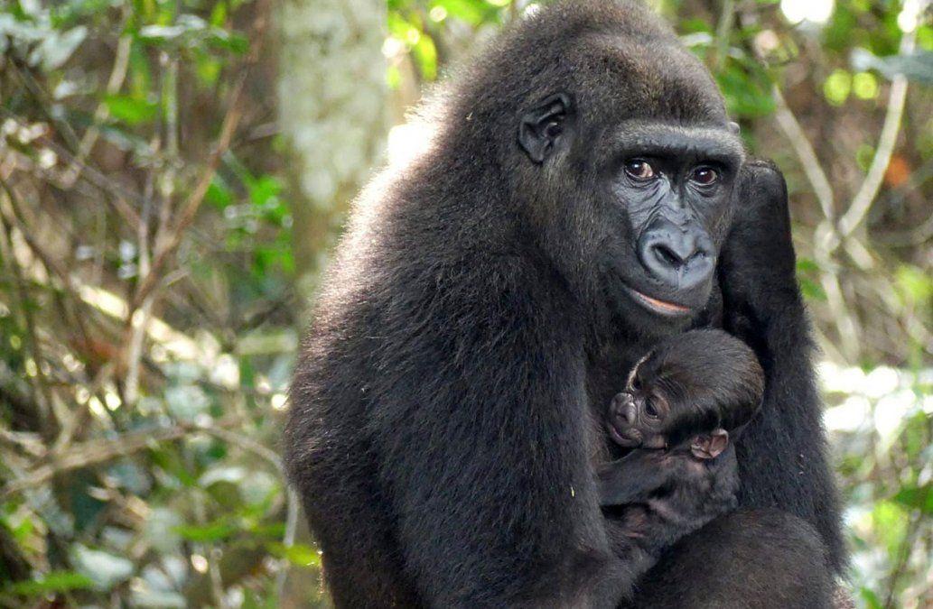 Nace en el medio natural un bebé gorila de dos padres reintroducidos en África