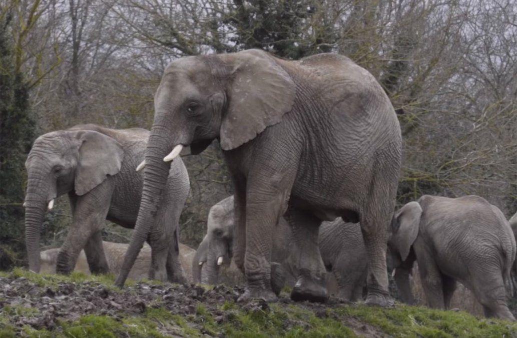 Parte de la manada de 13 elefantes que serán reintroducidos