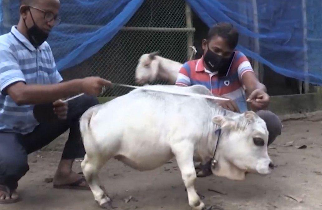 Una vaca enana se convirtió en una atracción turística en Bangladesh