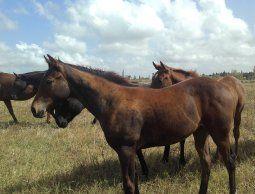 altText(MGAP prohíbe entrada de caballos argentinos a Uruguay )}