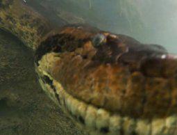 Logran filmar una anaconda gigante bajo el agua en un río de Brasil