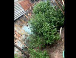 Incautaron 42 plantas de marihuana en el interior de una vivienda en Rio Branco