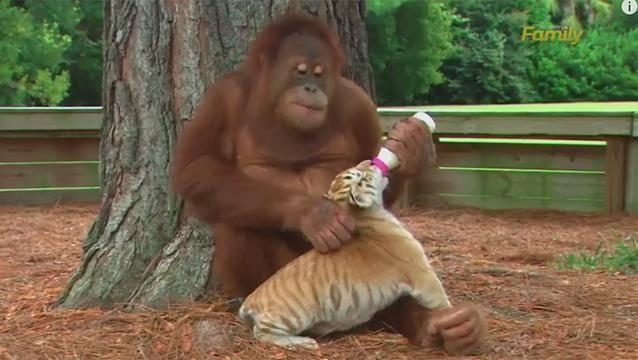 Video: el orangután que adoptó tres cachorros de tigre