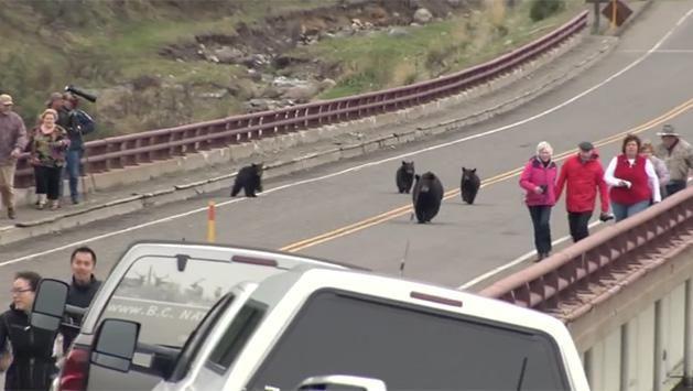 Video: manada de osos saca corriendo a turistas de un parque en EE.UU