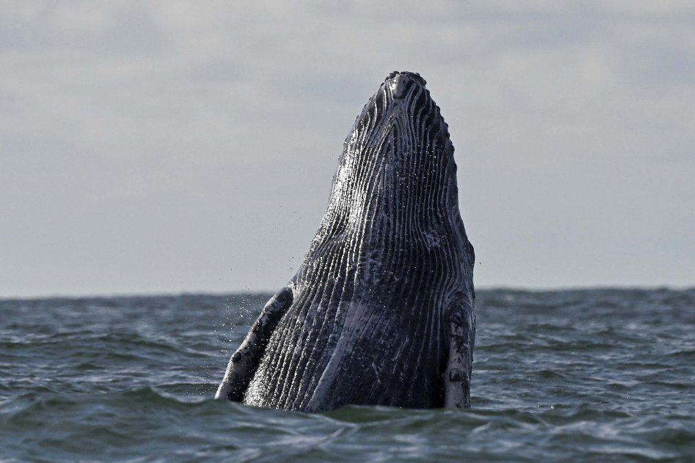 Una ballena jorobada salta en la superficie del Océano Pacífico en el Parque Natural Uramba Bahía Málaga cerca de Buenaventura