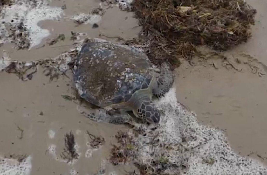 Rescataron casi 80 tortugas marinas varadas en la costa de Rocha