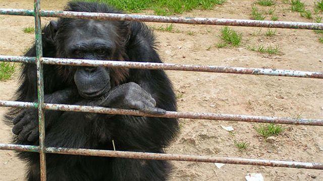 Polémica en España por chimpancé que escapó de zoo y fue muerta a tiros