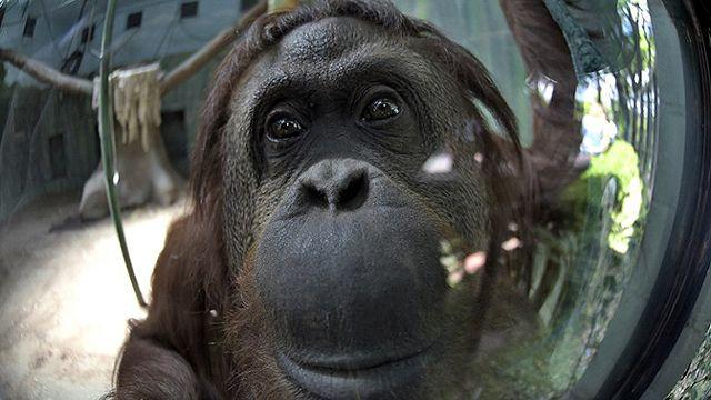 Avanza en Argentina inédito juicio por orangutana con derecho a libertad