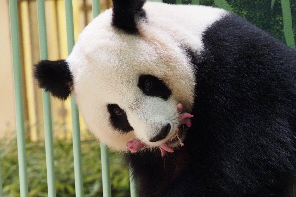 El panda gigante Huan Huan