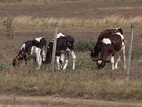 Vaca clonada comienza a producir leche similar a la materna