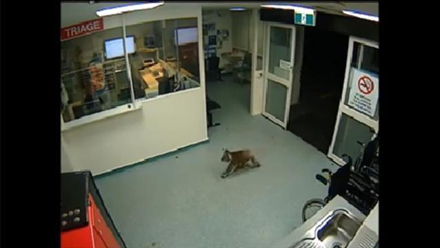 Koala entra a un hospital australiano y el video se hace viral en las redes