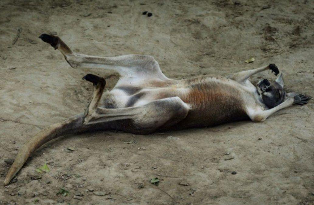 Canguro murió en un zoo: el público lo atacó a ladrillazos para que saltara