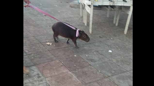 En Durazno los carpinchos son animales domésticos y pasean con sus dueños