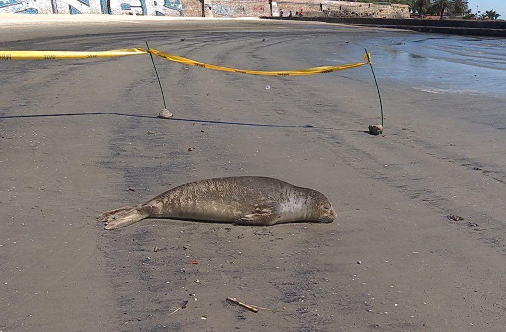 No molestar, elefante marino descansando en la playa Ramírez