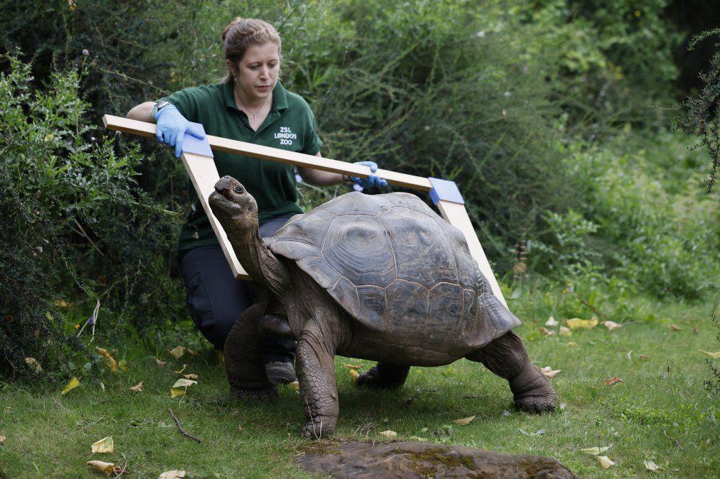 Una tortuga de Galápagos durante el pesaje anual en el zoológico de Londres