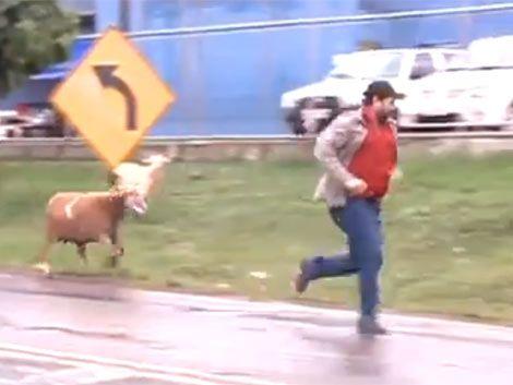 La cabra cabreada