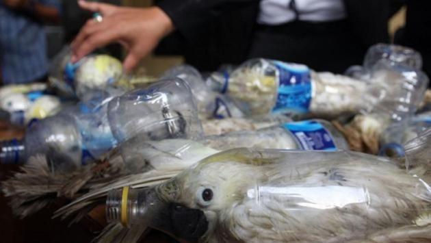 Decomisan cacatúas que eran transportadas y vendidas en botellas plásticas