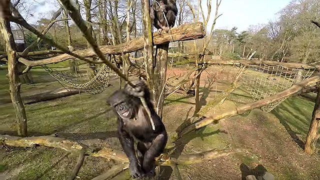 Video: chimpancé se enojó con un dron que lo filmaba y lo tiró al piso